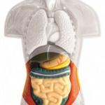 El aparato digestivo, el segundo cerebro
